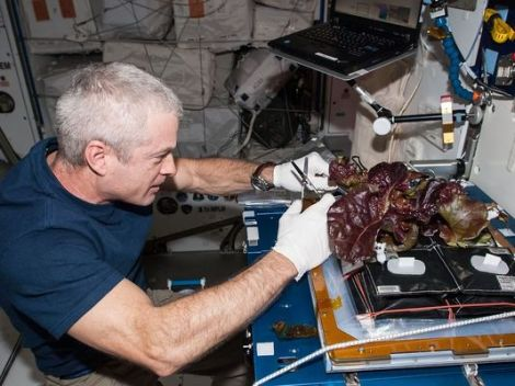 NASA astronaut Steve Swanson harvests a crop of red romaine lettuce plants that were grown from seed in space.(Photo: NASA)