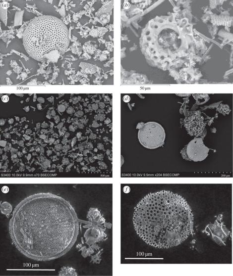 Diatoms. Images a and b are raw diatoms; c and d are fossilized, and e and f are fossilized diatoms that were frozen but not shot. (Credit: Mark Burchell et al., Philosophical Transactions of the Royal Society)