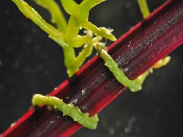 When parasitic plants such as dodder attack plants like the sugar beet shown here, there is a vast exchange of genetic information between the plants, a Virginia Tech researcher has discovered. (Photo : Virginia Tech College of Agriculture and Life Sceinces)